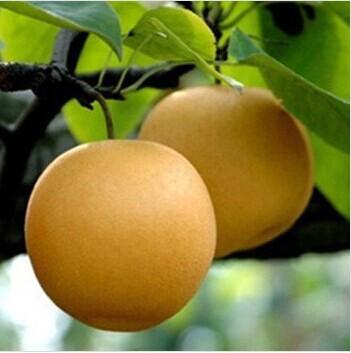 丰水梨 (约12-14个)10斤