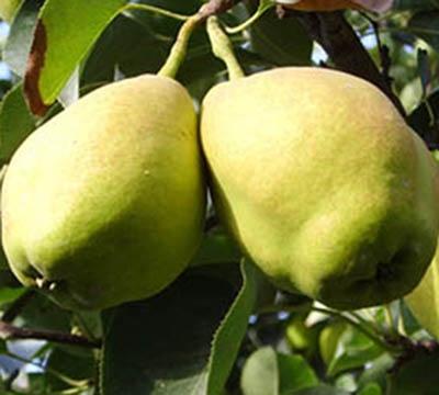 新疆库尔勒香梨(约6-7kg)